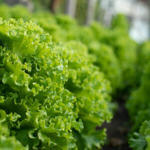 Salată (500g)