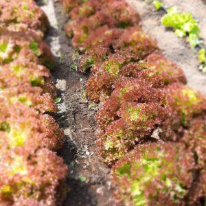 Salată Roșie (500g)