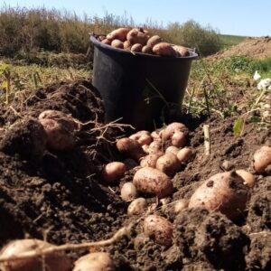Cartofi Roz (1 kg)