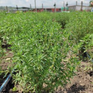Cimbru verde (50g)